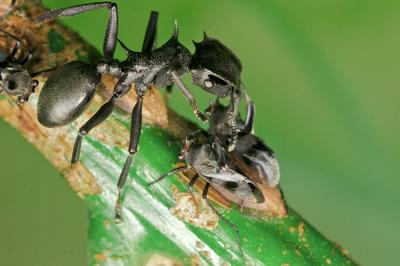 Unlocking a Resource: Urine-eating bacteria have existed for millions of years in the guts of ants