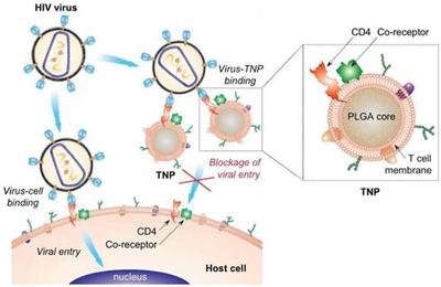 'Decoy' nanoparticles can block HIV and prevent infection