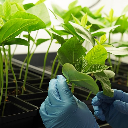 These fridge-free COVID-19 vaccines are grown in plants and bacteria